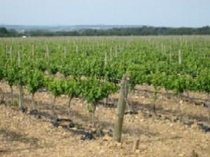 uitlopende druivenstokken, onafzienbare velden