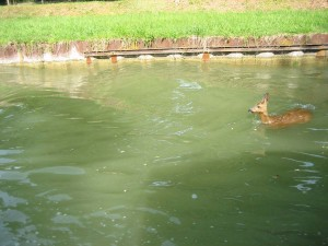 helaas, weinig kans op overleven; door de damwandplaten kunnen ze niet uit het water komen