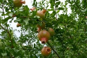 granaatappels aan de kade